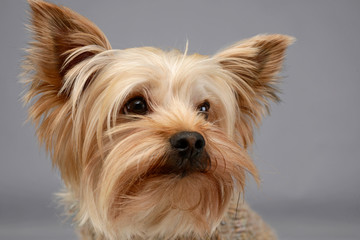 Yorkshire terrier portrait  in  photo studio