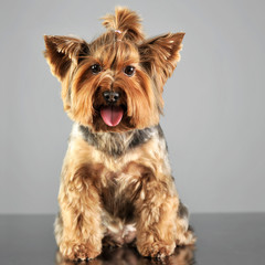 Yorkshire terrier in a grey photo studio