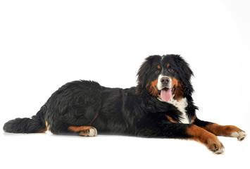 Bernese Mountain Dog lying in the white photo studio