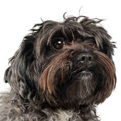 long hair small dog portrait in a white studio