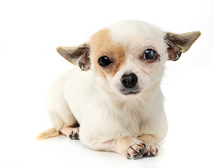sewn eyes chihuahua in a photo studio