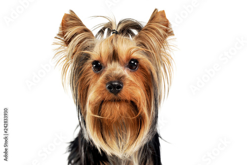 Very Nice Long Hair Yorkshire Terrier In Studio Stock Photo And