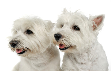 west highland white terrier portraits in studio