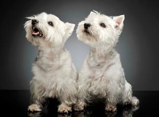 two west highland white terrier sitting in a dark studio