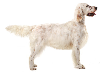 English setter standard in a white photo background