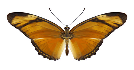 Butterfly Dryas iulia on a white background