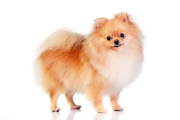 Studio shot of an adorable Pomeranian dog