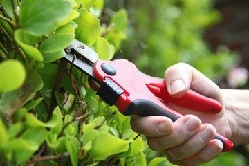 Gardener is trimming a bright green shrub in the garden with red secateurs.