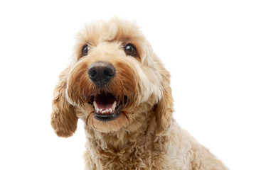 Portrait of an adorable Bolognese dog