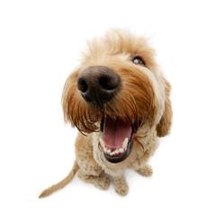 Wide angle shot of an adorable Bolognese dog