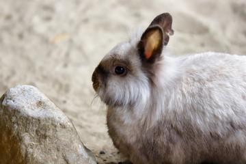 Portrait of smoky-grey domestic pygmy rabbit