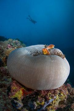 Palau, Clownfish and sea anemone