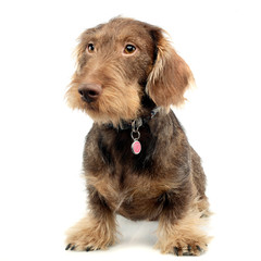 Studio shot of an adorable wire haired Dachshund