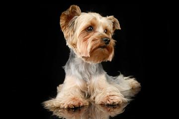 Studio shot of a cute Yorkshire terrier