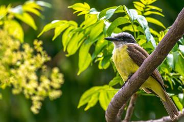 bird kiskadee