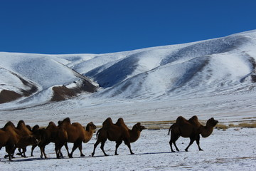 Camels walks in the snow in Mongolia. Herd camels against mountain.