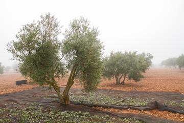 Harvesting olives in a foggy cold morning in Castilla La Mancha, Spain