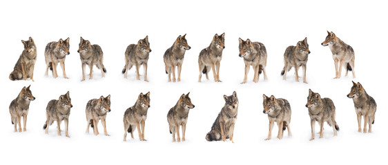 Ingelijste posters Wolf pack of wolves