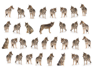 collage of wolves  (canis lupus) isolated