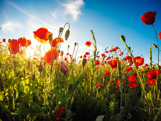 Wall Mural - Blooming red poppies on field against the sun, blue sky. Wild flowers in springtime.