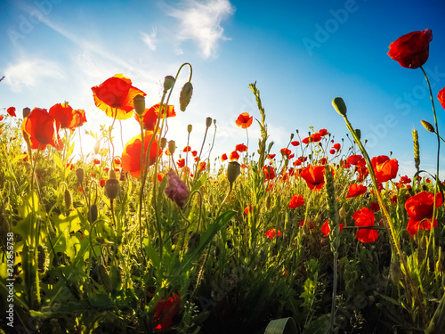 Wall mural Blooming red poppies on field against the sun, blue sky. Wild flowers in springtime.