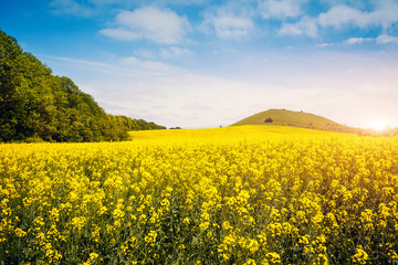 Wall Mural - Captivating views of canola field in sunlight.