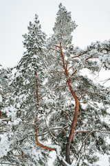 Traveling and recreation. Fairytale winter pine forest with snow covered trees. Colorful outdoor scene.