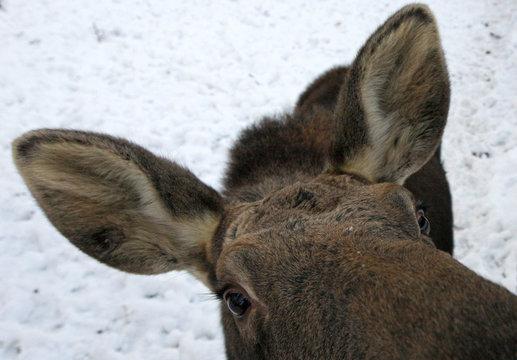An elk is pictured at a zoo in Krasnoyarsk