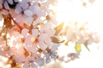 flowering tree apricot