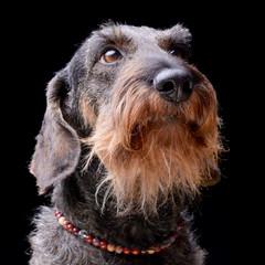 Portrait of an adorable Dachshund