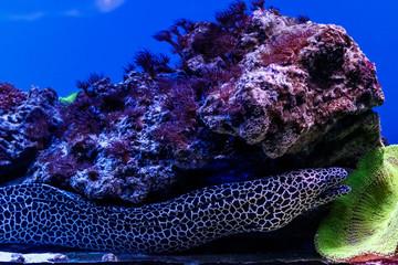 macro laced moray  (Gymnothorax favagineus)