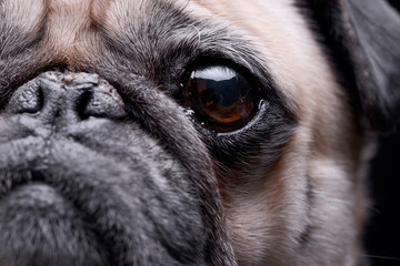 Close portrait of an adorable Mops (or Pug)