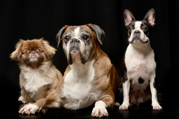 Studio shot of three adorable dog