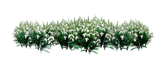 3D Rendering Snowdrop Flowers on White