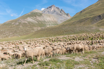 sheep in transhumance on the Alps
