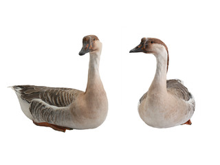 two goose isolated