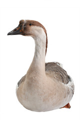 goose isolated on white