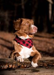 Hund mit Halstuch im Wald