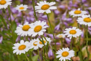 daisy and hosta