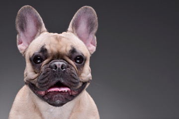 Foto op Canvas Franse bulldog Portrait of an adorable French bulldog