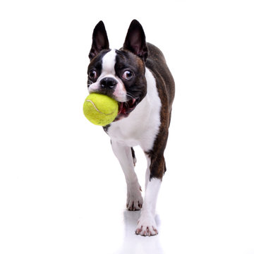 An adorable Boston Terrier playing with a tennis ball