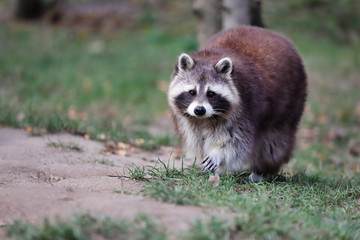 Full body adult male common raccoon