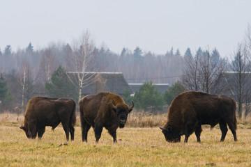 Żubr w Białowieskim Parku Narodowym.