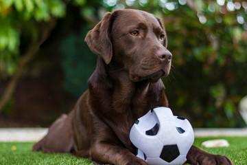 chocolate labrador white ball in garden