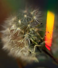 Art photo dandelion isolated on the natural blurred background. Closeup. For design, texture, background. Nature.