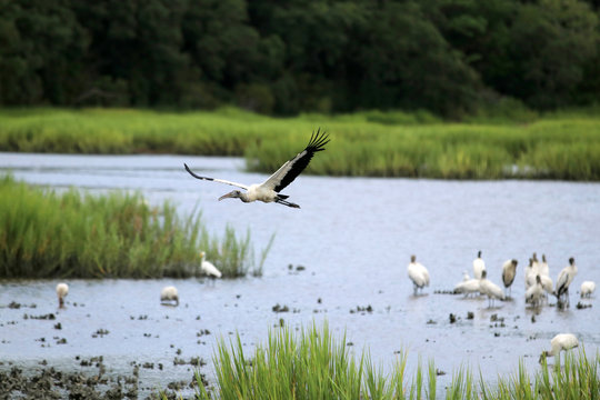 Beautiful wood stork flying over salt marsh full of oyster beds and birds in a shallow depth of field at Huntington Beach State Park. Litchfield, Myrtle Beach area, South Carolina, USA.