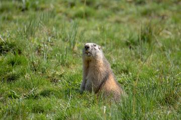 marmot mammal of the alps