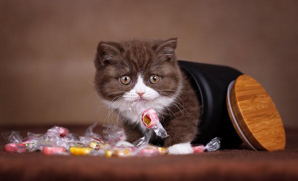 BKH Kitten mit Bonbon im Mund krabbelt aus Dose