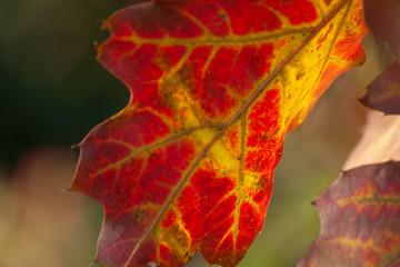Czerwono żółty pojedynczy liść