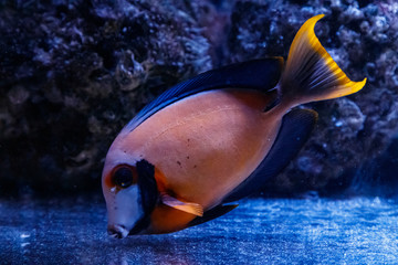 macro fish acanthurus pyroferus